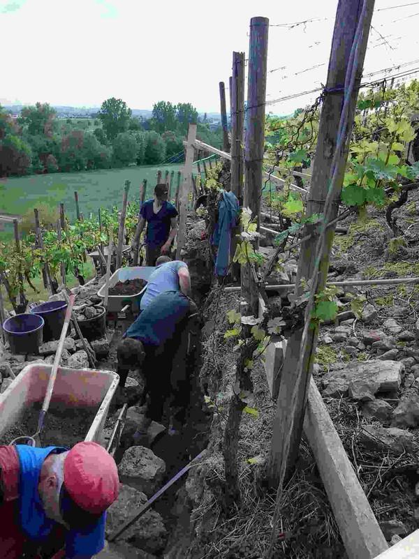 Die Pflege der terrassierten Steillagen setzt spezifisches Wissen im Bau von Trockenmauern voraus, das mittlerweile auch in Kursen vermittelt wird. Bildrechte/Foto: LVG Heidelberg